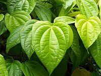 betel-leaves-herbal-recipe-for-nosebleed
